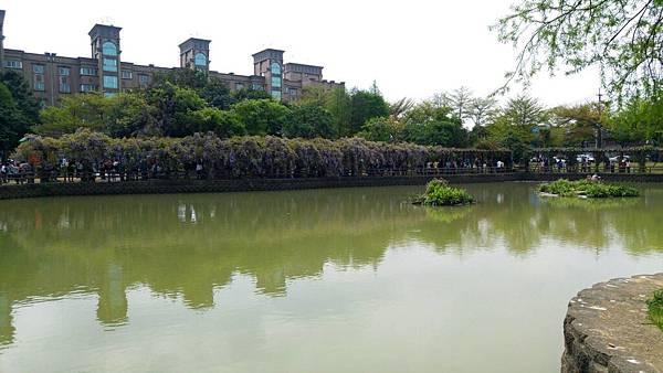 桃園龜山大湖紀念公園2018/4/1紫藤花況6