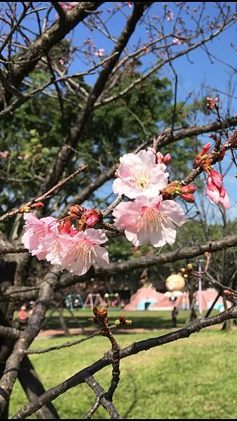 板橋溪北公園- 粉櫻
