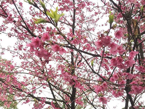 天元宮櫻花2019年2/9後山花況:其實我更愛這種嫩綠芽跟粉櫻交錯的顏色
