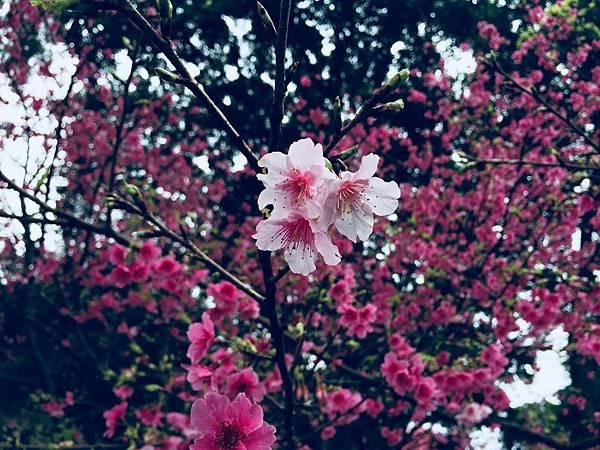 天元宮櫻花2019年2/9後山花況 特寫