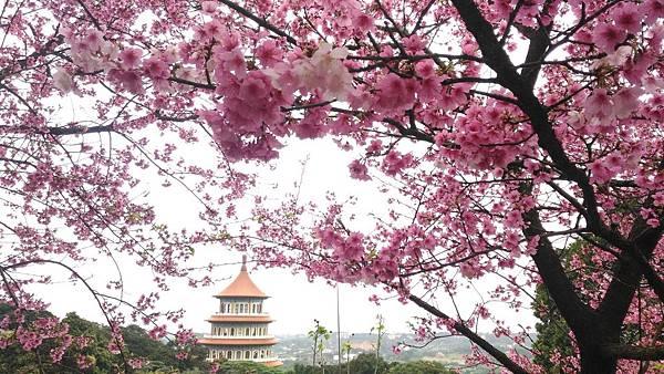 天元宮櫻花2019年2/9後山花況:春節過年期間 盛開,整個 櫻花大放送喔