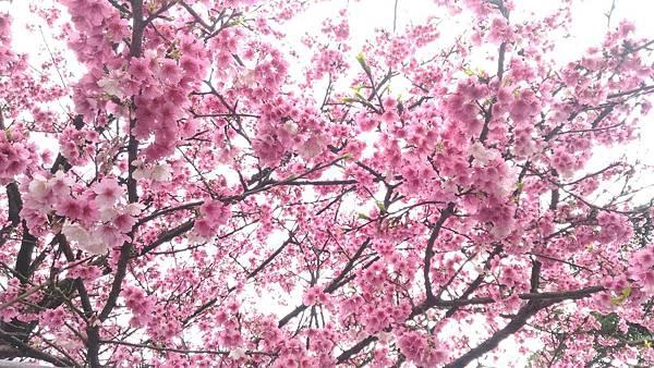 天元宮櫻花2019年2/9後山花況:原來不用太遠的車程也可以看到媲美武陵農場跟日本櫻花的夢幻景色!