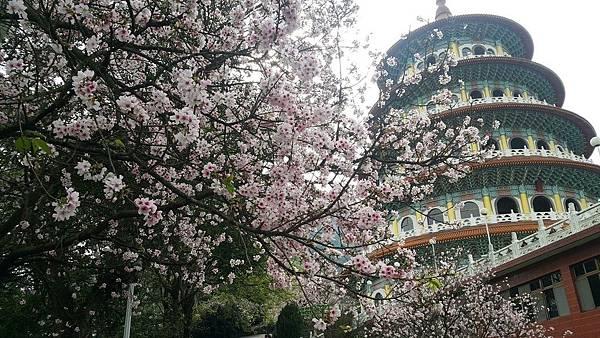 天元宮櫻花2019 接下來,就要等到3月中的吉野櫻囉~