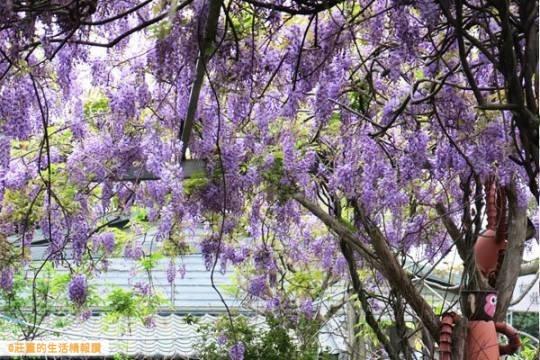 台北花卉村-紫藤花季