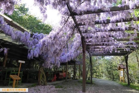 武陵農場-農莊文物館紫藤花盛開