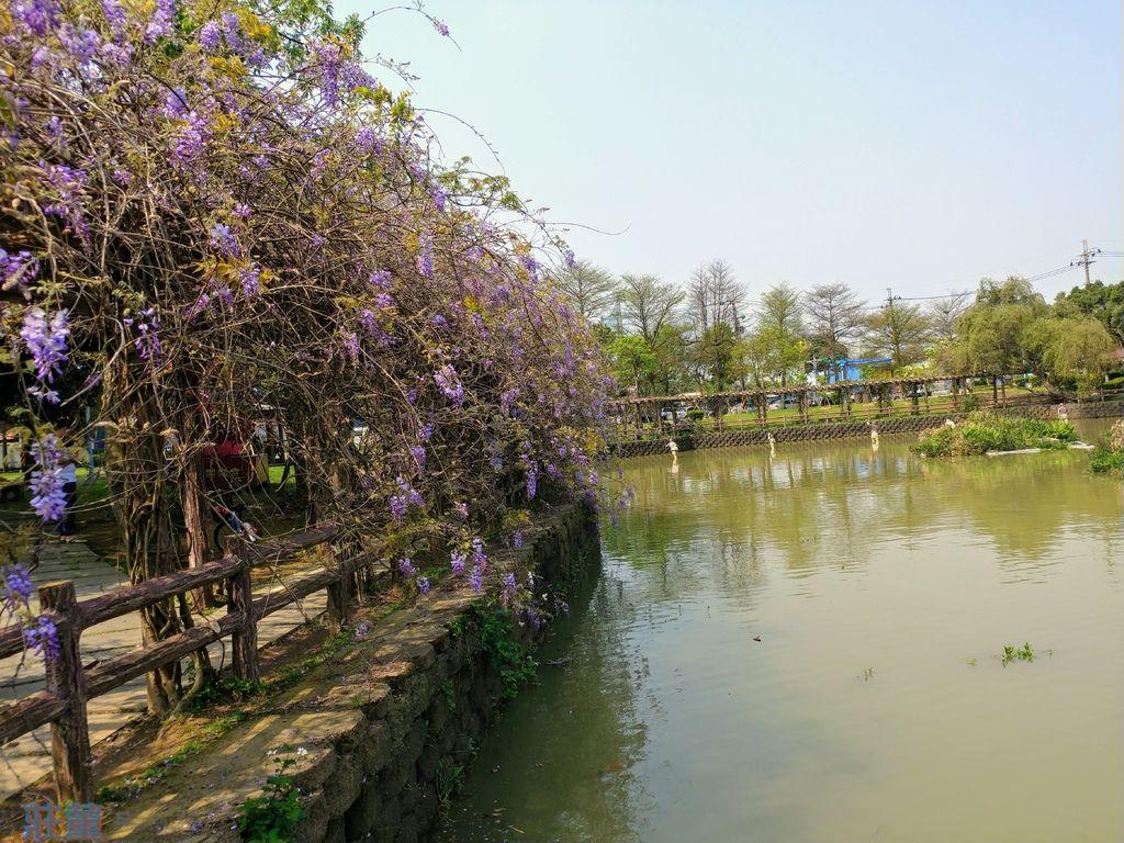 來桃園龜山大湖紀念公園野餐吧【紫藤花2019/3/28最新花況】