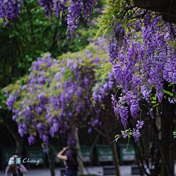 中華大學「紫藤花瀑」,位於管理一館與建築一館間的綠色草坪旁的木架棚
