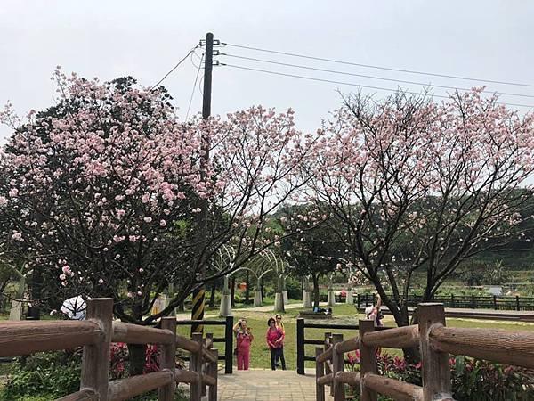2019/4/9三生步道櫻花花況
