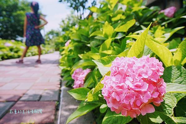 2019夏日的泰山黎明步道花園,城市裡的繡球花/向日葵一起盛開了在泰山步道花園