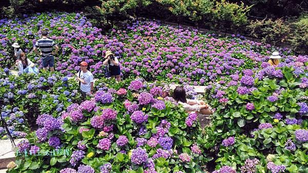 滿滿的紫色繡球花我來了!值得一去的【大梯田花卉農場】2019陽明山竹子湖繡球花景點