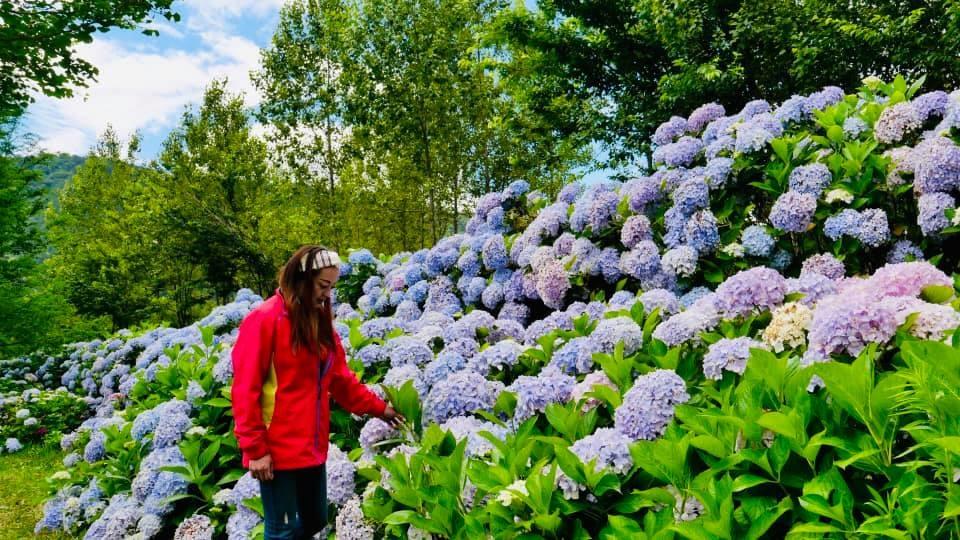 武陵農場繡球花誇張的爆多,應該是近幾年來最壯麗的一次!