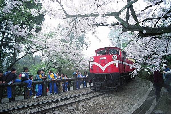 嘉義展覽活動2020推薦:阿里山櫻花季2020