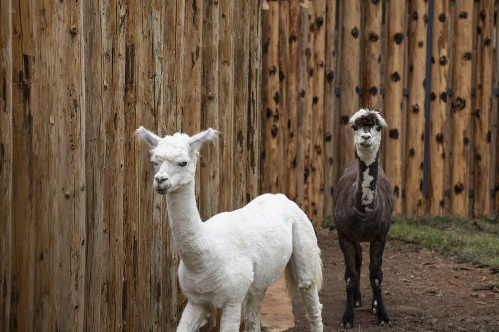 新竹市立動物園 兩隻羊駝「咖啡」與「牛奶」
