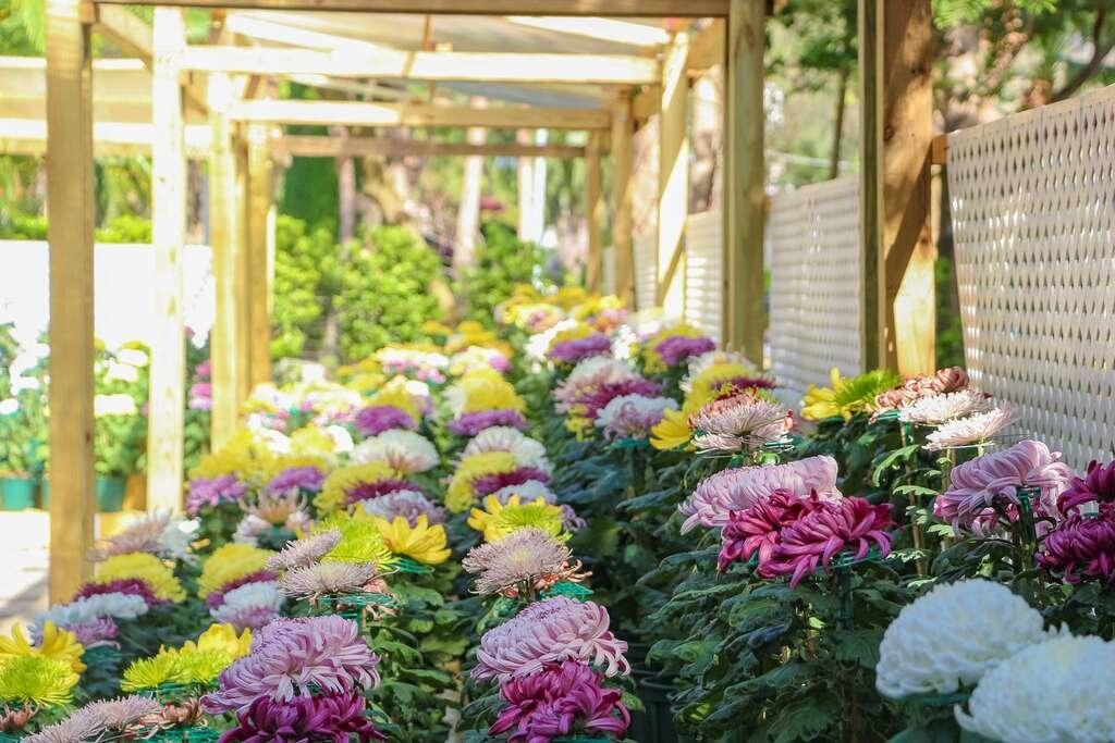 「大菊品種展示區」充分展現菊花栽培技術的可貴.jpg
