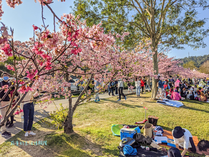 新北景點推薦:新店 陽光運動公園 櫻花