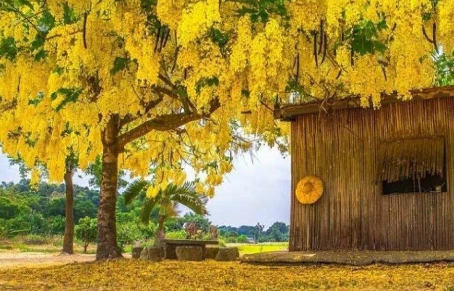 白河百年阿勃勒樹.jpg