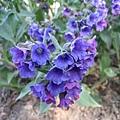 紫草根1.jpg