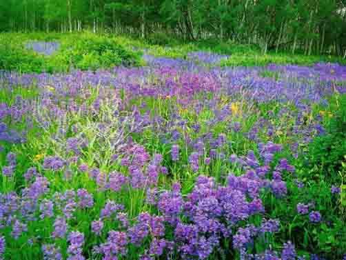 紫草根5.jpg