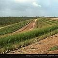 岩蘭草1.jpg