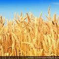 小麥胚芽油7.jpg