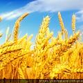 小麥胚芽油8.jpg