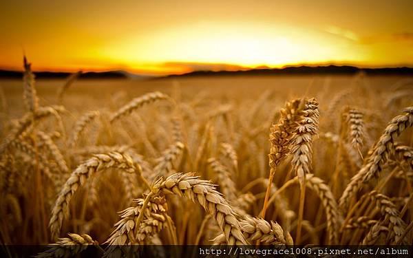 小麥胚芽油9.jpg