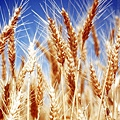 小麥胚芽油5.jpg