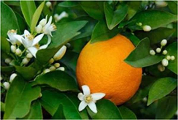 橘油7.jpg