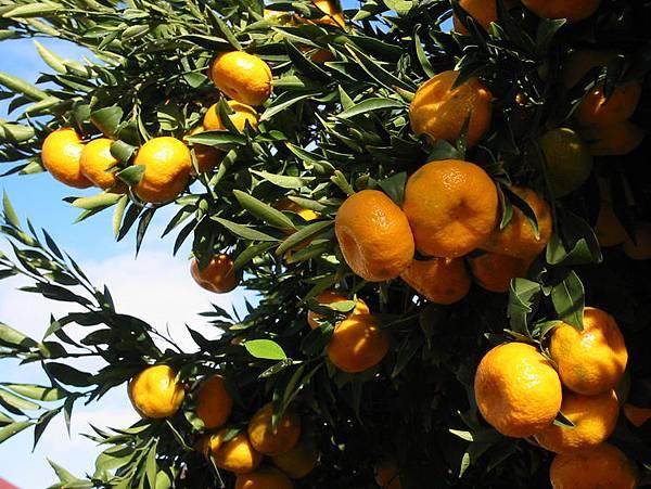橘油9.jpg