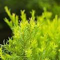 茶樹精油8.jpg