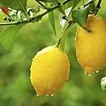 檸檬1.jpg