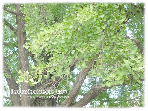 第一次看到銀杏樹哎...這株很美喔!!