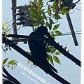 日本烏鴉超多