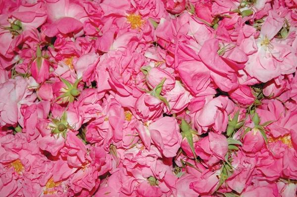 rose-maroc