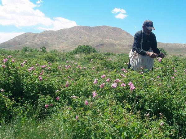 Melvita_Iran-valley-of-rose_