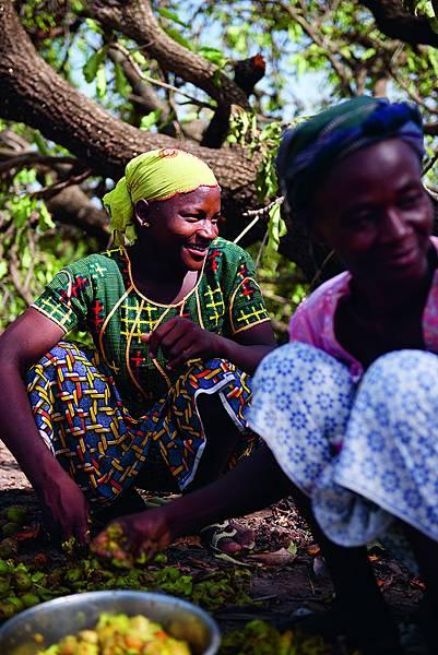 採集乳油木果的西非布吉納.法索婦女