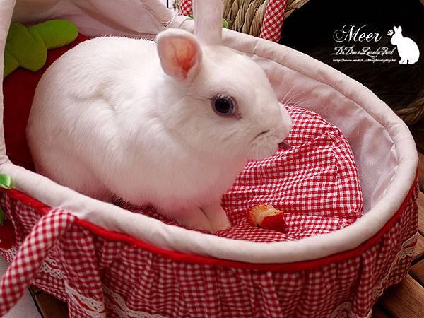 20130318草莓床吃草莓
