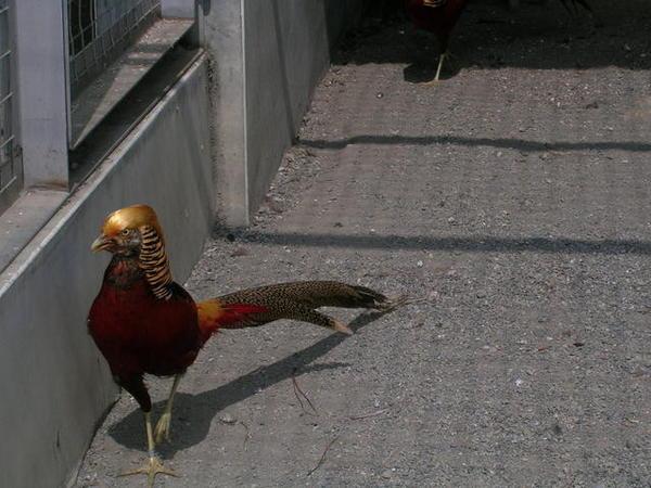 大長今中的金雞