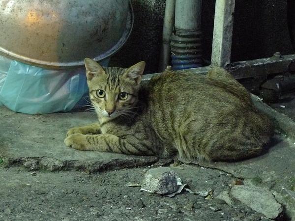 新市的貓咪