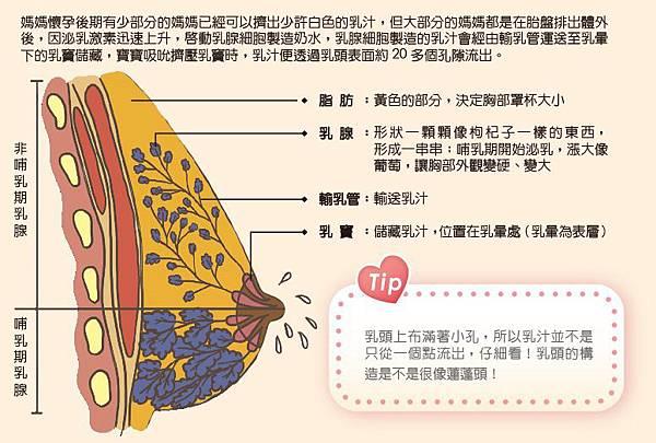乳房構造.jpg