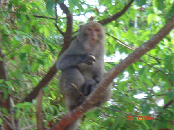 野生的台灣獼猴!