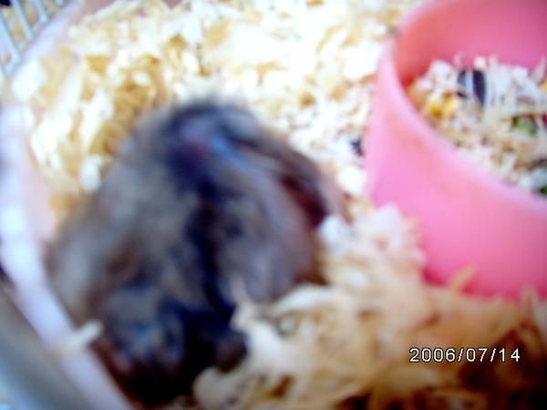 母鼠正在哺乳喔~