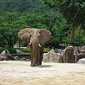 把耳朵張開的大象
