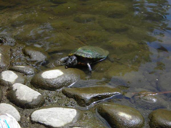 有很多很多隻烏龜^^