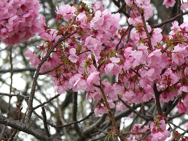 幾棵櫻花開了