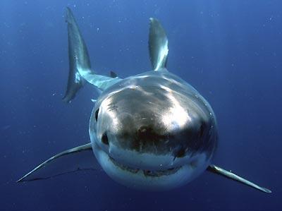 great_white_shark_4.jpg