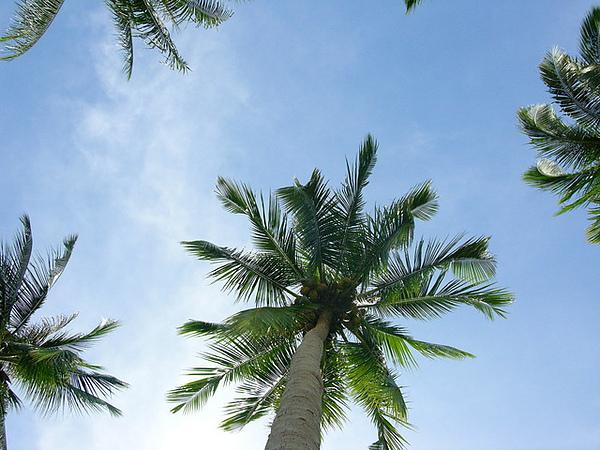 這島盛產椰子