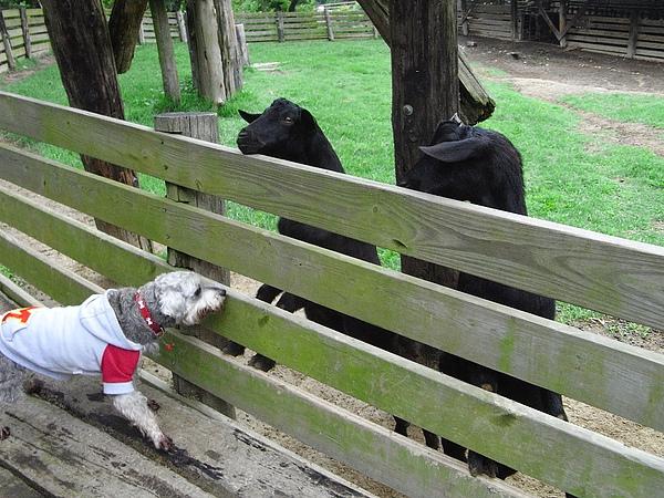 小馬與羊.JPG