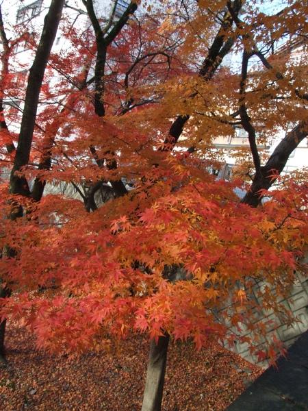 下呂楓葉2.jpg