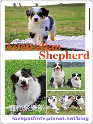 04.澳洲牧羊犬(網誌用).jpg